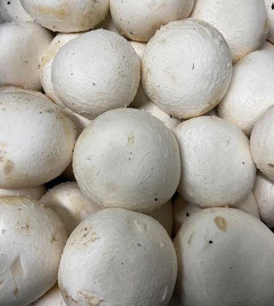 champignons-paris-le-potager-de-coudoux