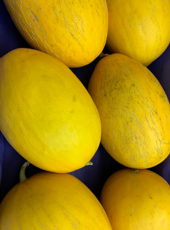 melon-jaune-potager