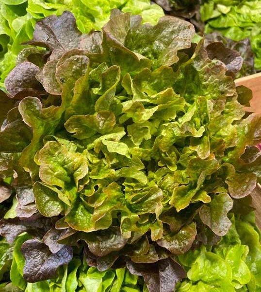 salade-chene-rouge-face-le-potager-de-coudoux