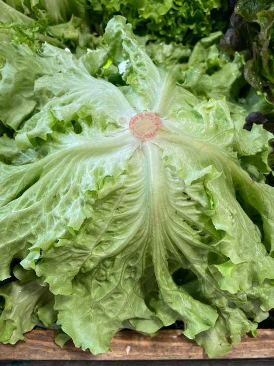 salade-batavia-dos-le-potager-de-coudoux