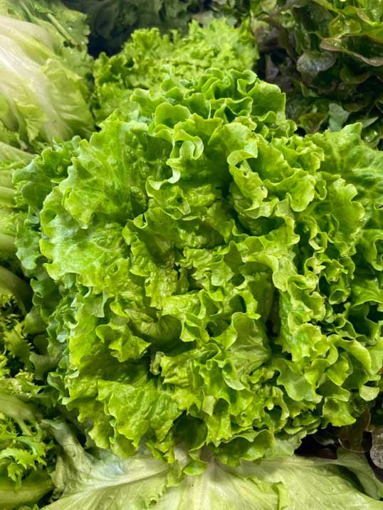 salade-batavia-face-le-potager-de-coudoux