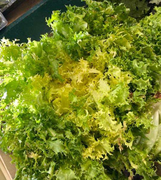 salade-frise-face-le-potager-de-coudoux