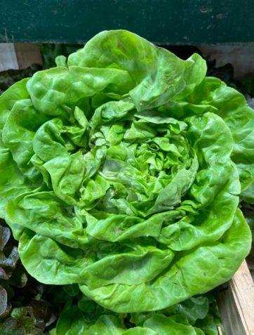 salade-laitue-face-le-potager-de-coudoux
