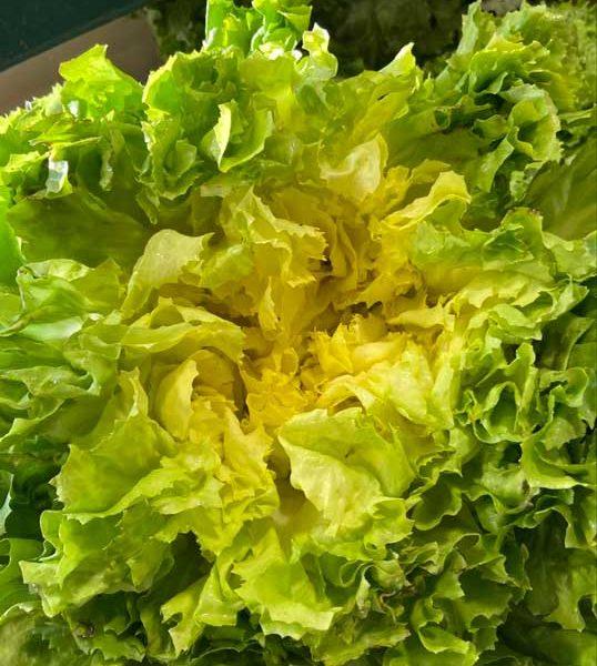 salade-scarole-face-le-potager-de-coudoux