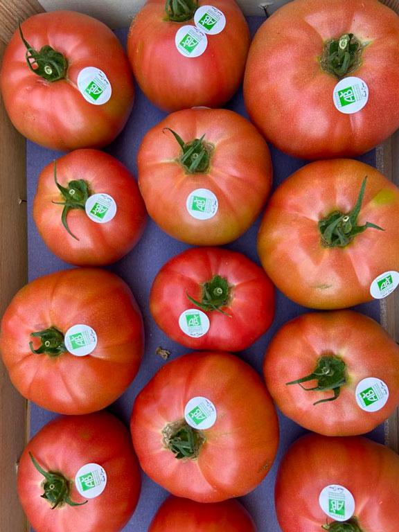tomates-rose-de-berne-bio-anciennes-provence-potager-coudoux