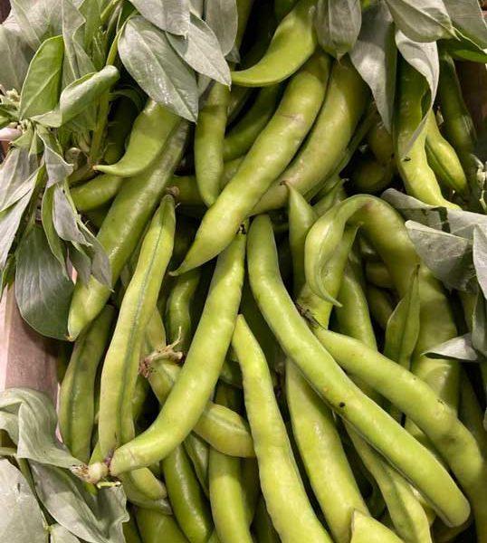 le-potager-de-coudoux-legume-feve-italie