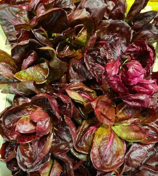 salade-chicoréé-de-provence-le-potager-de-coudoux