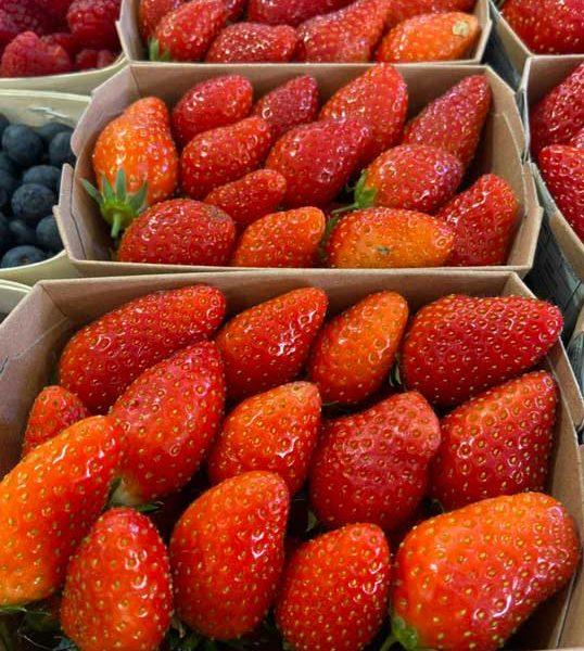 fraise-ciflorette-le-potager-de-coudoux