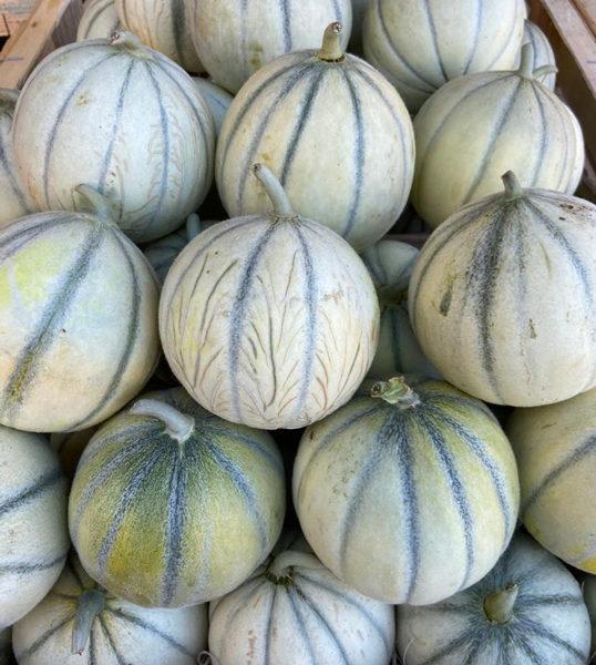 Melon-petit-provence-potager-coudoux