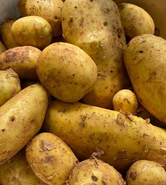 pomme-de-terre-spunta-potager-de-coudoux