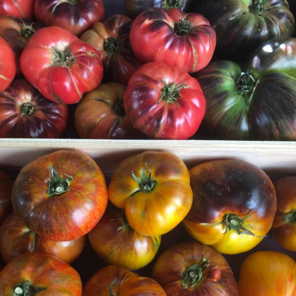 tomates indigos le potager de coudoux